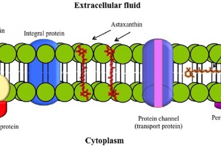 Schematic diagram of membrane bilipid structure and astaxanthin and -caroteno distribution