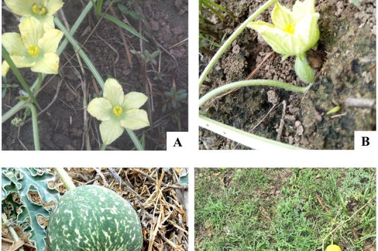 Citrullus colocynthis (L.) Schrad, A-B: Flowers; C-D: Fruits