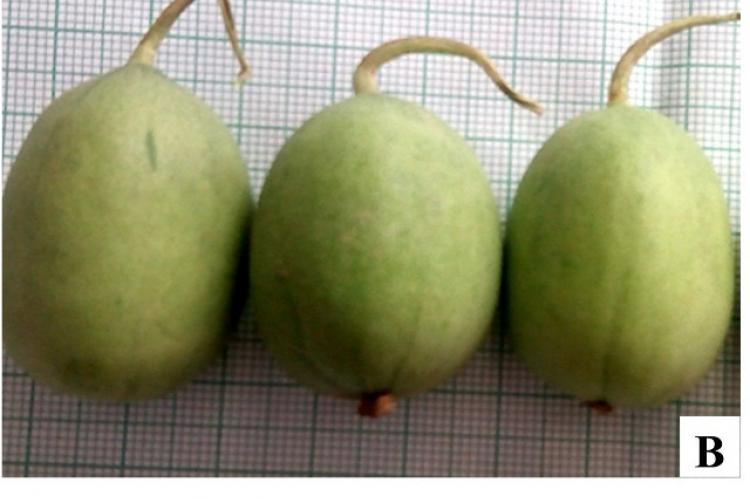 Cucumis melo var. agrestis, A-B: Fruit showing variation in morphology; C: Staminate and Pistilate flower