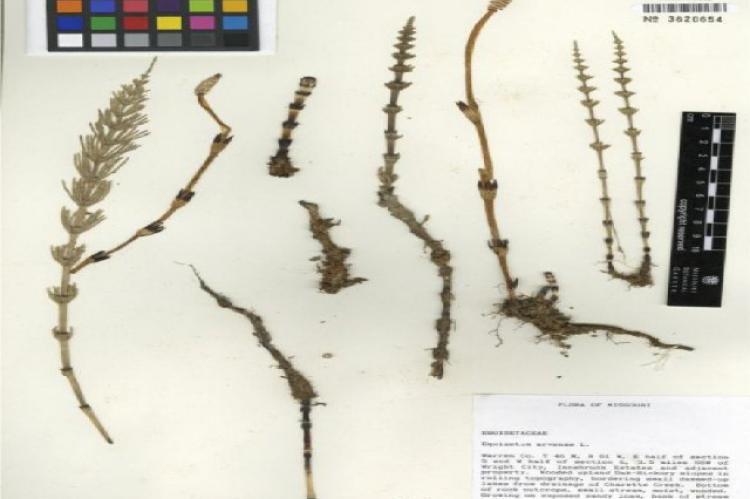 llustration of the botanical characteristics of Equisetum arvense