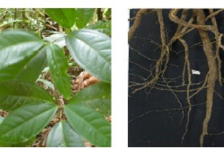 Leaves and roots of A. amazonicus