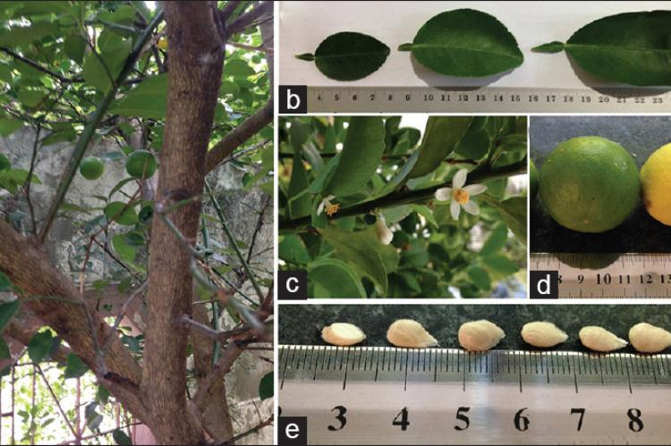 Gross morphology of Citrus aurantifolia (a) stems; (b) leaves; (c) white flowers in different stages; (d) ripe yellow and unripe green fruits; and (e) seeds