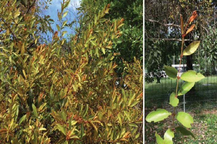 (a) Luscious bush of Scurrula ferruginea on a tree alongside the road in Brunei Darussalam. (b) A stalk of Scurrula ferruginea with the brown flower
