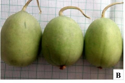 Cucumis melo var. agrestis, A-B: Fruit showing variation in morphology; C: Staminate and Pistilate flower