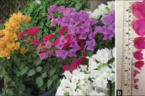 Variety color (a) and size (b) of Bougainvillea spp. Flowers