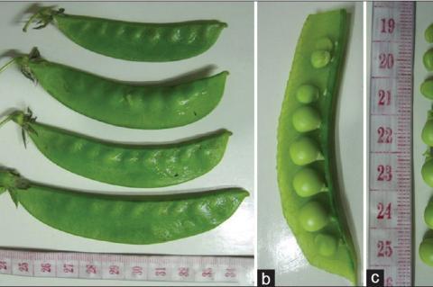 Fruit of Pisum sativum (a) external morphology (b) cut face and (c) seeds