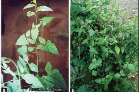 Branch of solanecio biafrae