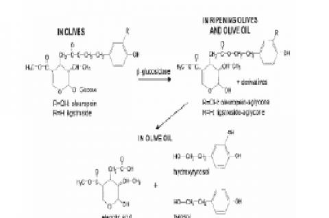 Phenols present in olive oil, their degradation into
