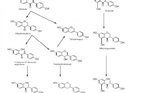 Proposed metabolic pathways of catabolism of daidzein and genistein based on urinary isoflavonoid metabolites