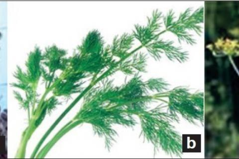 (a) Seeds, (b) plants (c) inflorescence