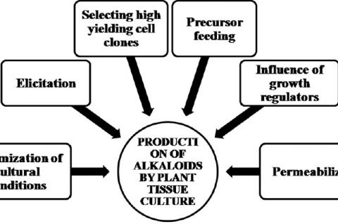 Factors affecting in vitro production of alkaloids