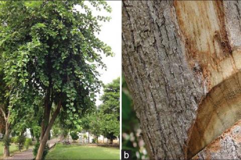 (a) Cordia obliqua Willd. tree (b) Cordia obliqua Willd. tree bark