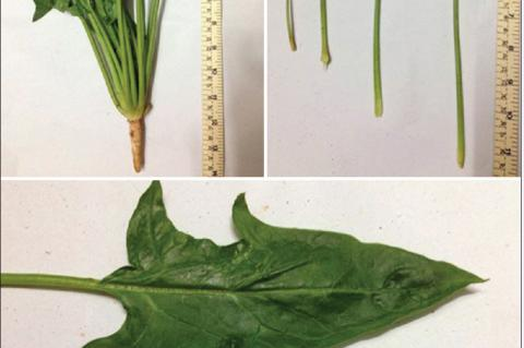 Spinacia oleracea showing wavy leave