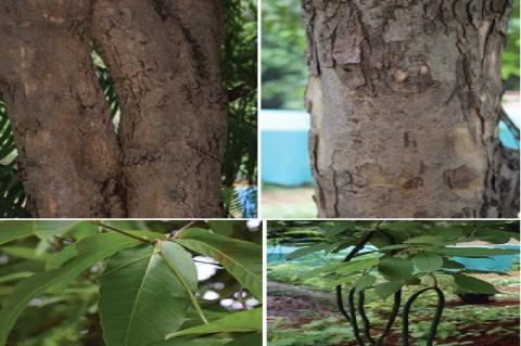 Photographs depicting the difference in stem, leaves, and pods of Holarrhena antidyscentrica (left) and Wrightia tinctoria (right)