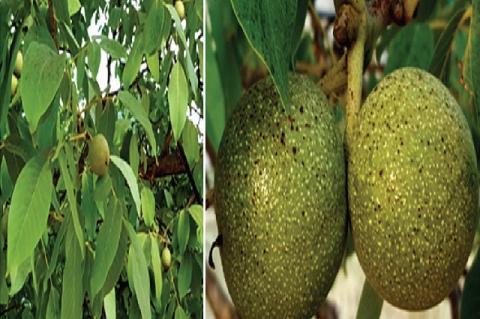 (a) Leaves of juglans regia (b) Fruits of juglans regia