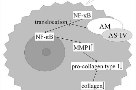 The photoprotective effects of AM on ultraviolet B‑induced damage in fibroblasts. AM, Astragalus membranaceus; AS‑IV, Astragaloside IV; MMP1, matrix metalloproteinase‑1