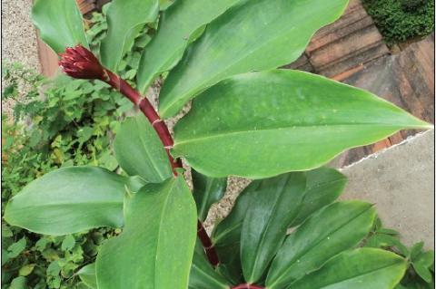 Insulin plant